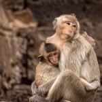 Affenfamilie, Thailand